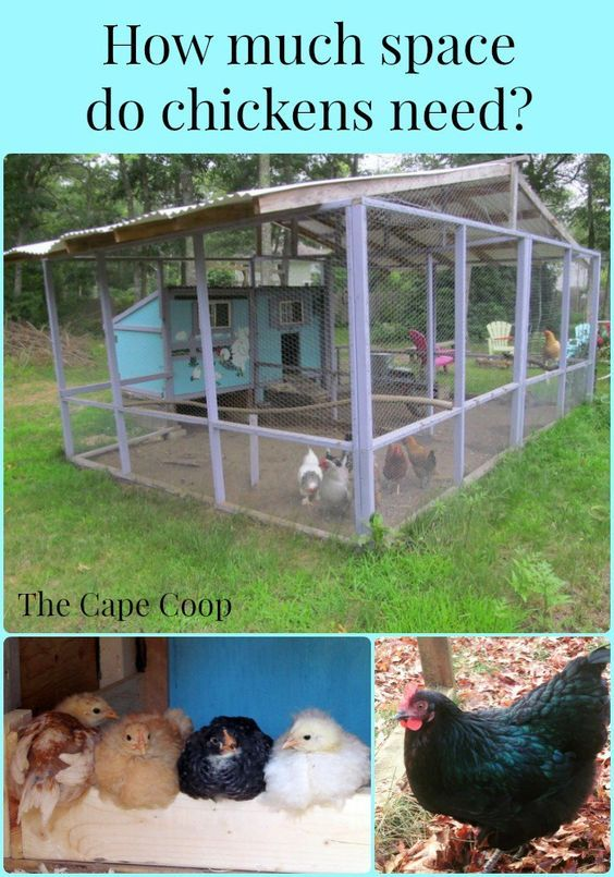 Most backyards can accommodate a small flock of chickens, but just how much space will you need to raise chickens?