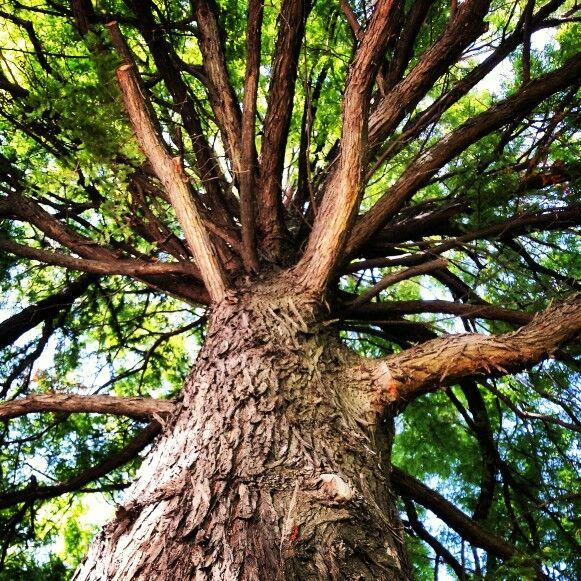 Beautiful tree #cismigiu