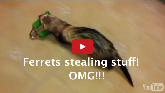 Watch ferrets stealing stuff in this compilation. Guaranteed to make you laugh!