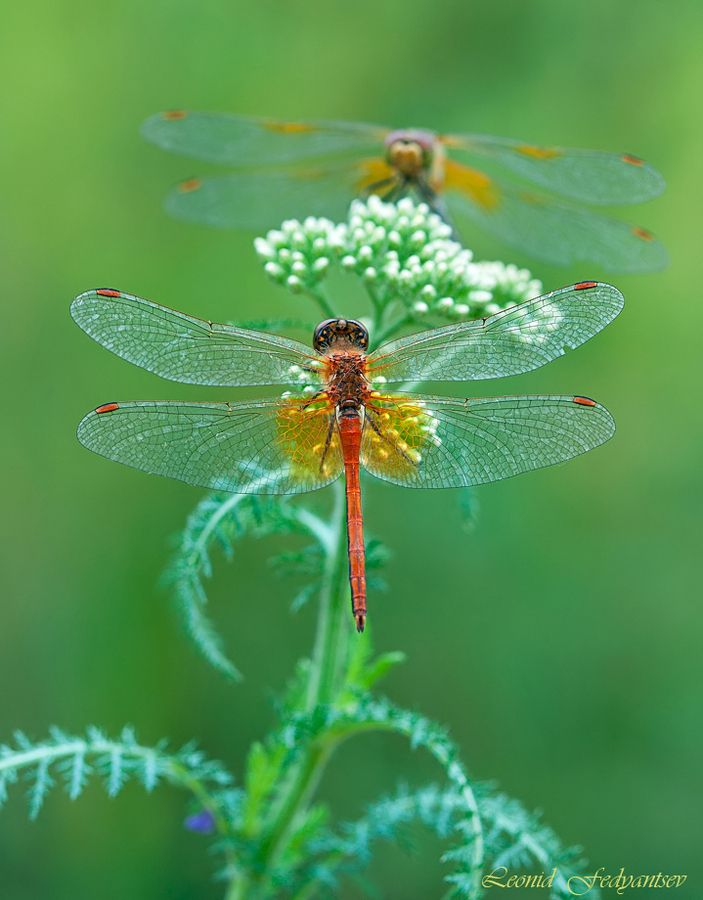 Dragonflies on the Common Yarrow