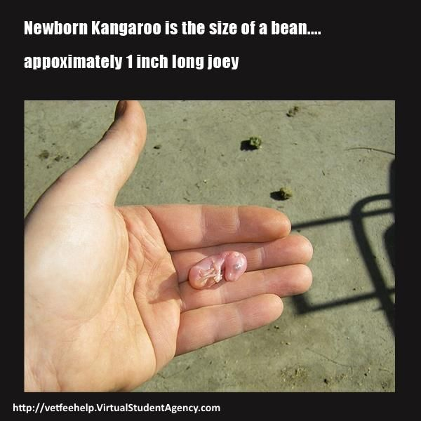 Have you ever seen a newborn kangaroo? It is so small as a bean!