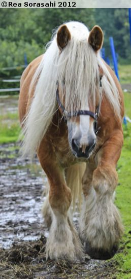 Jutland horse, a heavy draft horse of Denmark. Their numbers have declined ike other draft breeds no longer needed for work, but just like Clydesdales are maintained as Budweiser's symbol, Jutlands are kept by Carlsberg brewery.