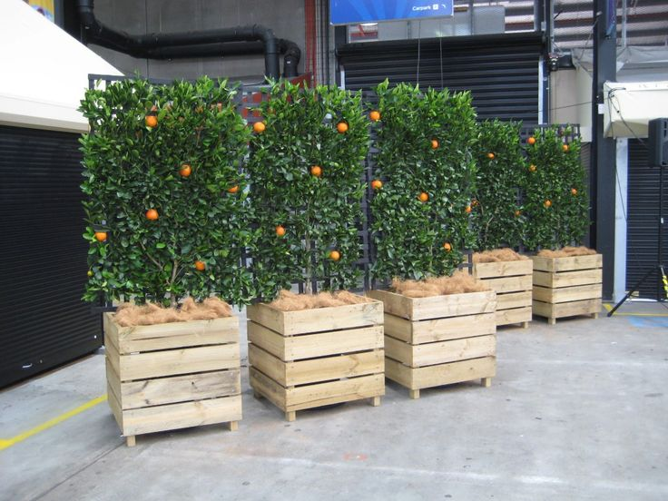 Espalier orange trees in planters. Now this is more our northern style. Inside in the Winter then roll it out for the warm weather. I even have plenty of scrap lumber to get started!