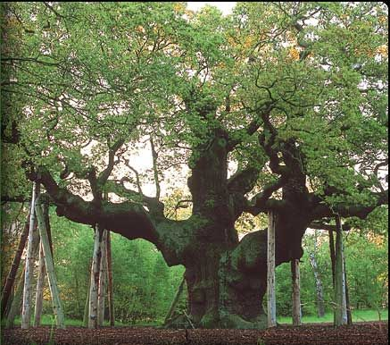 The Major Oak of Sherwood Forest, England. I have seen this in person, it's gorgeous.