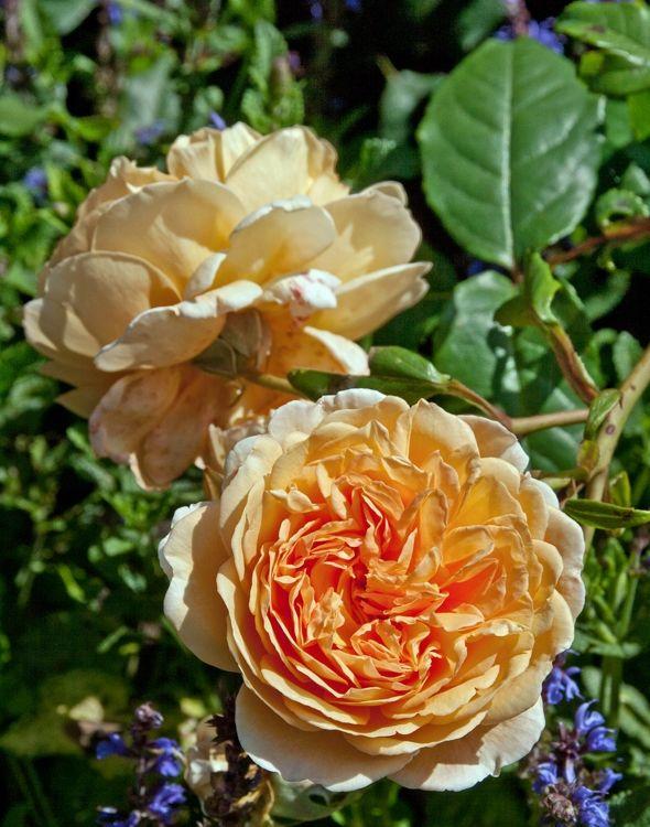 10 smukke roser til haven