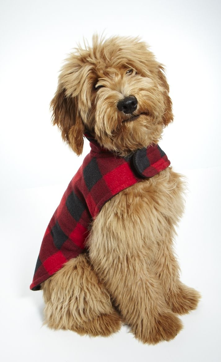 This is a pup from the breeder where we got Lucy.  He was a model puppy in the December issue of Better Homes and Gardens
