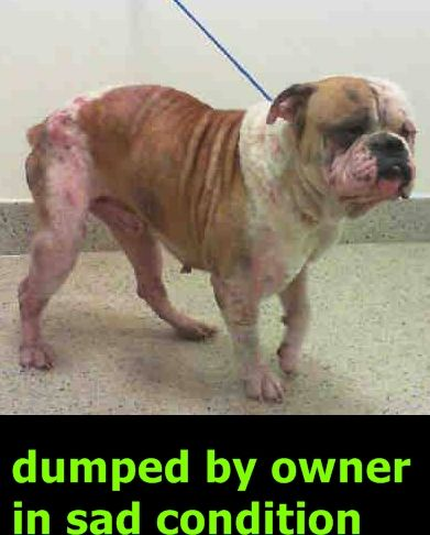 URGENT-- POPY (A1541893) I am a male white and brown American Bulldog. The shelter staff think I am about 3 years old. I was turned in by my owner and I may be available for adoption on 07/12/2016. — MIAMI DADE COUNTY ANIMAL SERVICES. https://www.facebook.com/urgentdogsofmiami/photos/a.477521308948944.116125.191859757515102/1237203962980671/?type=3&theater