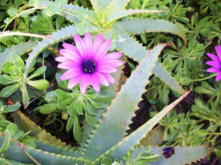 ÁLOE VERA e outras flores MONTE PEDRINHAS    https://www.facebook.com/AlmogPedrinhas