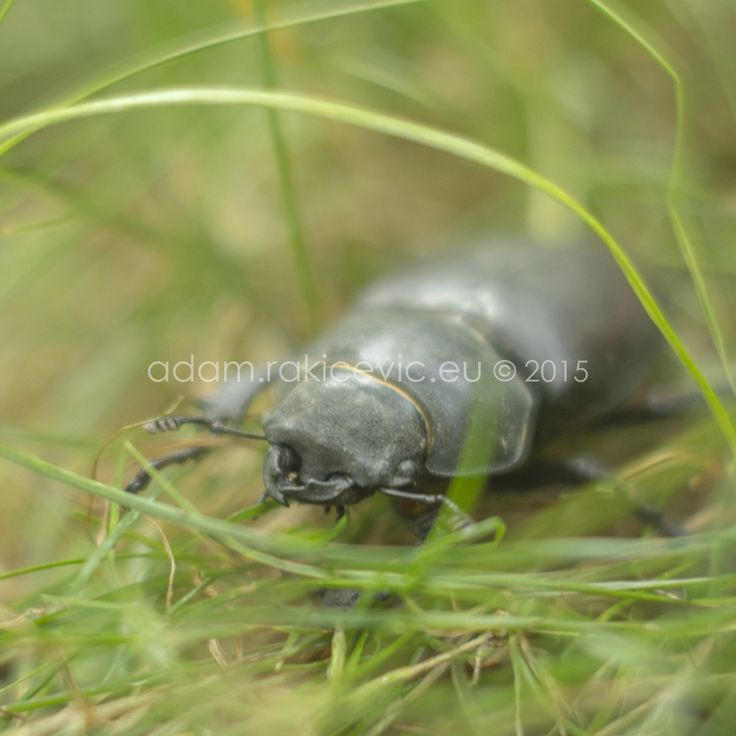 adamrakicevic#insect #beatle #macro #nature #lucanuscervus #Lucanus #cervus #serbia #adamrakicevic  Print available for sale  30x30cm framed print 80€ 100x100cm framed print 200€ Order & info adam@rakicevic.eu