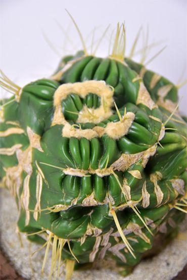 金鯱螺旋モンストローサ      Echinocactus grusonii f. monst. spiralisDSC_0283