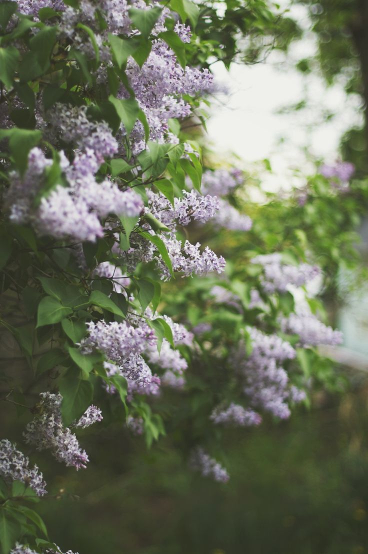 The stone wall across from my grandparents house was covered with Lilacs it's one of the most beautiful memories I have