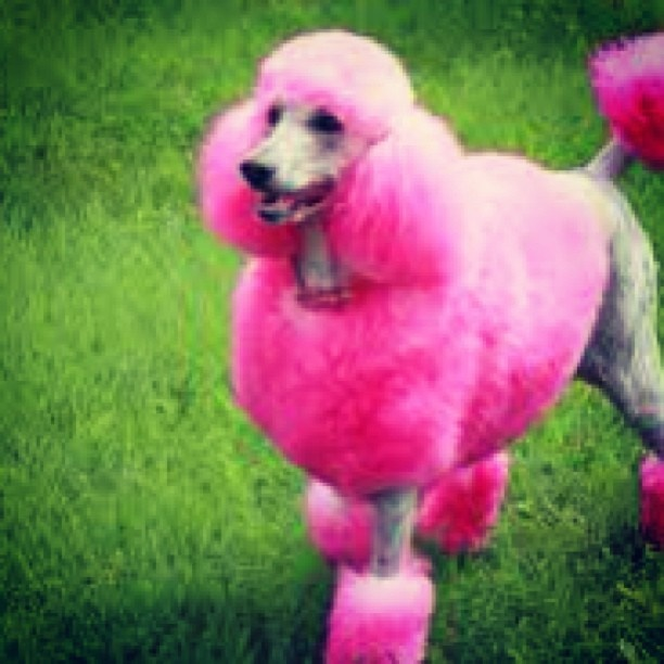 1000+ images about pink dog on Pinterest | Cara delevingne ... - photo#8