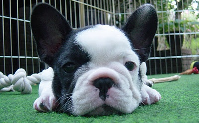 Black and White French Bulldog :)