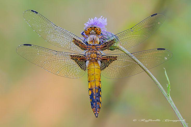Libellula depressa (Linnaeus, 1758) Dimensioni: lunghezza: 40-48 mm, apertura alare 66-74 mm. Descrizione della specie: Ali anteriori e posteriori con macchia bruno-scura alla base. Specie dall'aspetto tozzo, inconfondibile, con addome largo, di colore azzurro nei maschi, giallastro nelle femmine e, in entrambi i sessi, con macchie laterali gialle. Il torace presenta due larghe bande ante-omerali. I maschi immaturi e le femmine hanno una colorazione uniforme giallo-bruno mentre i maschi…