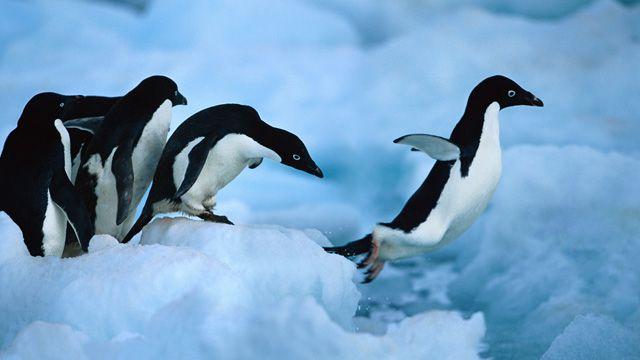 adelie penguin pictures   Adelie-penguins-Paulet-Is-016.jpg
