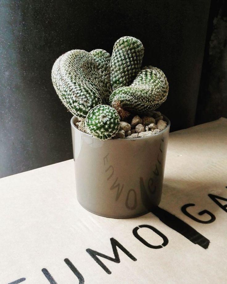 Mammillaria Matudae Crestata! Reflecting @fumogallery -Thanks @geometrica_botanica  #cactus #cacti #cactishop #mammillaria #photo #fumo #gallery #ferrara #buskersferrara2016 #buskers #buskersfestival #plant #conceptstore