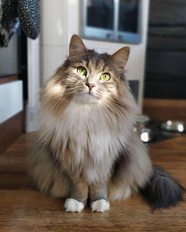 Siberian Cats From Finland 在 Instagram 上发布 That Head Tilt Hiroandkiko Catsofinstagram Instacats Siberianc Siberian Kittens Kittens Cutest Siberian Cat