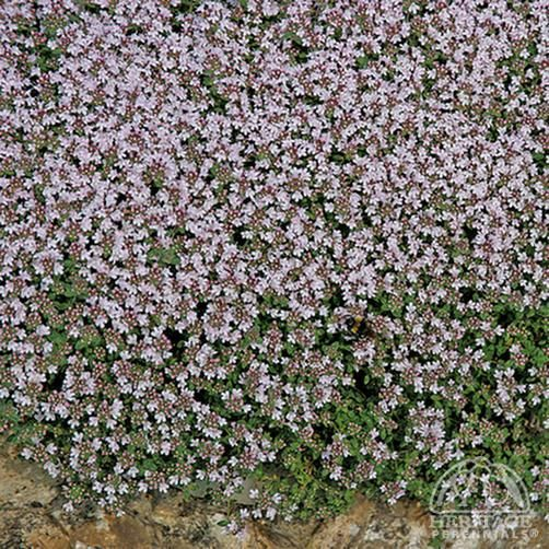 Plant Profile for Thymus serpyllum 'Pink Chintz' - Creeping Thyme Perennial.  full sun.  can plant between flagstones.  prefers well drained soil.  great fragrance when stepped on.   plant several varieties of thyme in the flowerbeds.