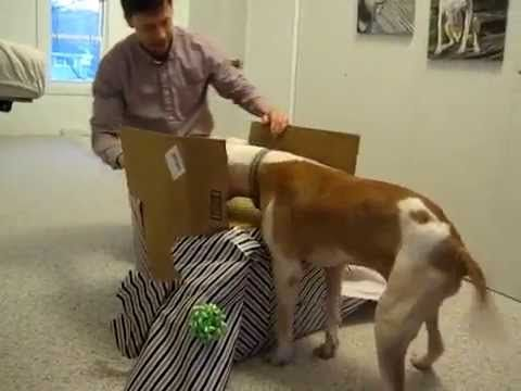 This Pit Bull Received A Birthday Surprise After Beating Cancer On His 11th Birthday