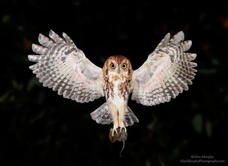 www.alanmurphyphotography.com | Owl, Screech owl, Eastern ...
