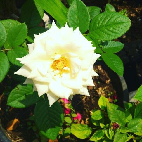 White rose, what is that mean? Just for literature, it's mean is sorry ... how about you? :)