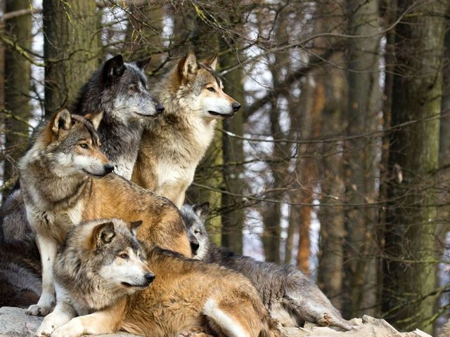 The Wolf is my Spirit Animal!