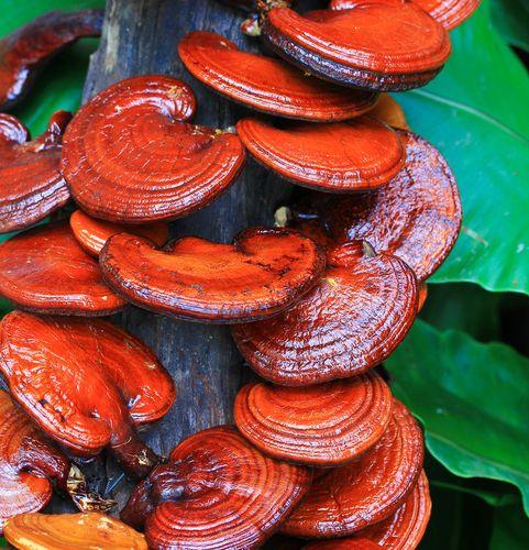 Red Reishi Mushroom (Ganoderma lucidum) http://fekete.ganodermakave.hu