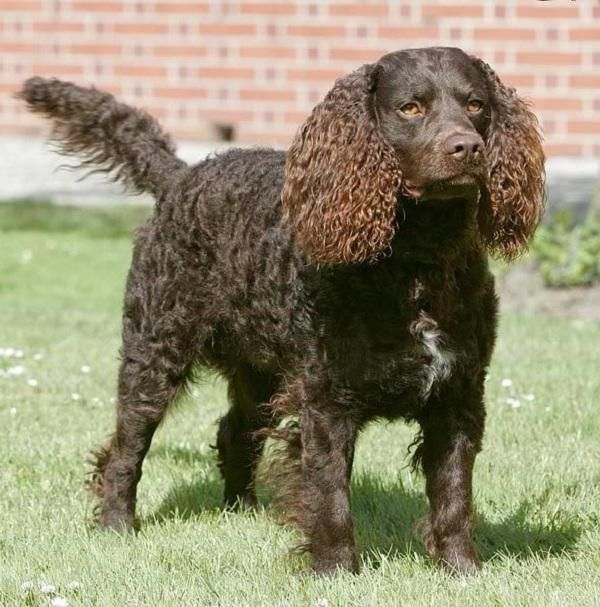 In fact, they're so good, that before recognition by the AKC in 1940, the American Water Spaniel had never been shown in a ring for fear they would lose their hunting edge.