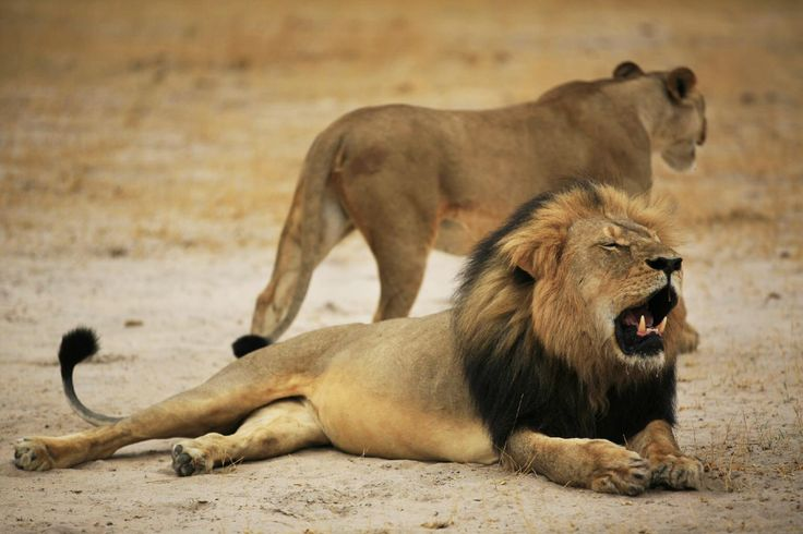 """{  KILLING OF CECIL THE LION SPARKS DEBATE OVER TROPHY HUNTS  }  #NationalGeographic .... """"Following the stalking and killing of Cecil, one of Zimbabwe's best-known and most-studied lions, a debate has erupted about the complex politics of trophy hunting with many scientists..""""…"""