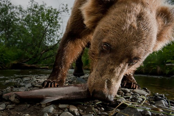 As a warming climate changes Kodiak bear diets, impacts could ripple through ecosystems