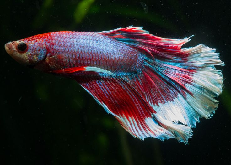 1000 images about betta fish pictures on pinterest for Best place to buy betta fish
