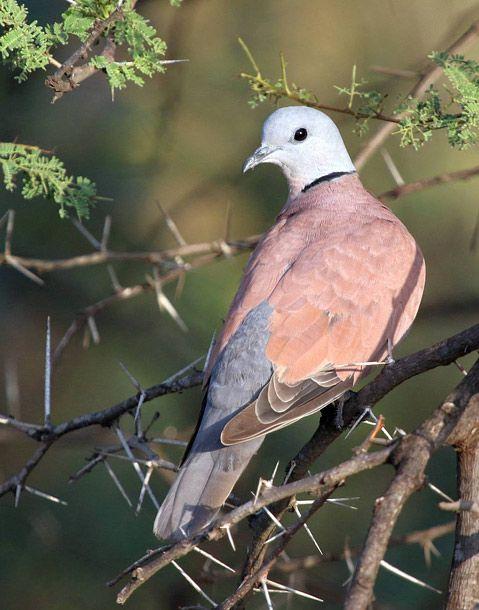 Red Collared Dove/Red Turtle Dove