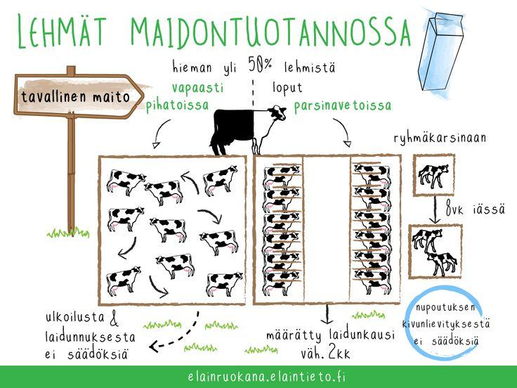 Tavallista maitoa tuotetaan sekä parsi- että pihattonavetoissa.