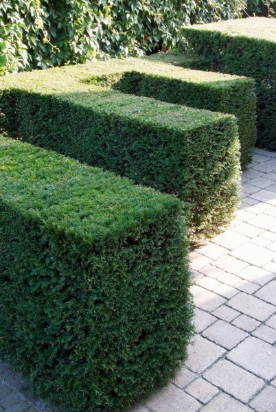 43 best images about taxus on pinterest trees and shrubs. Black Bedroom Furniture Sets. Home Design Ideas