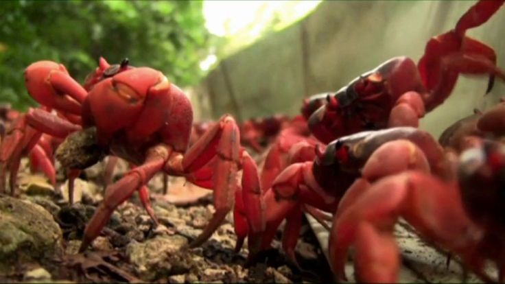Behind the scenes of the red crab migration – Christmas Island 2012