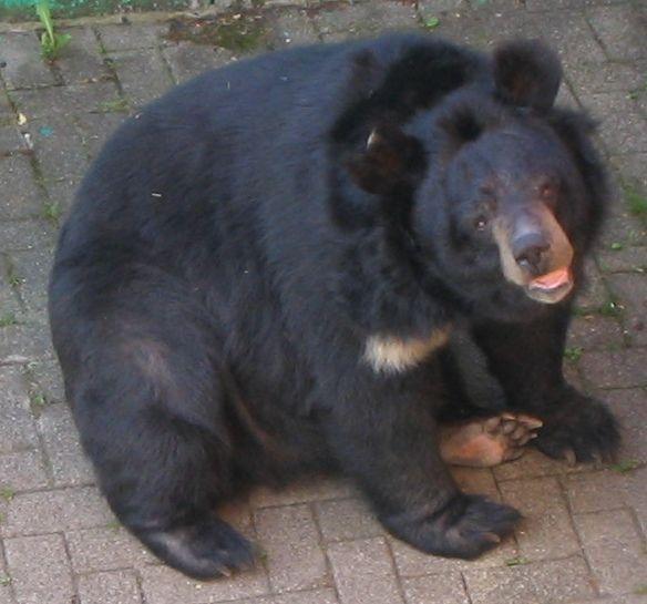 Medvěd ušatý