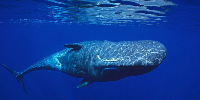 Spermwhale (Physeter catodon)