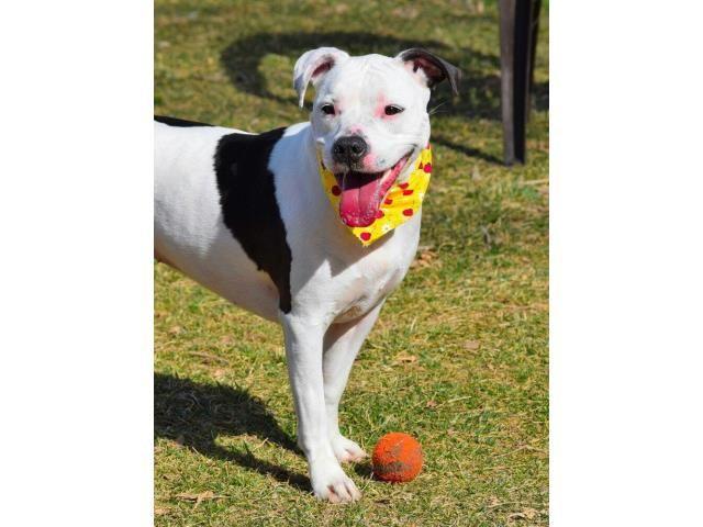 Bullboxer Pit dog for Adoption in Henderson, NV. ADN-474658 on PuppyFinder.com Gender: Female. Age: Adult