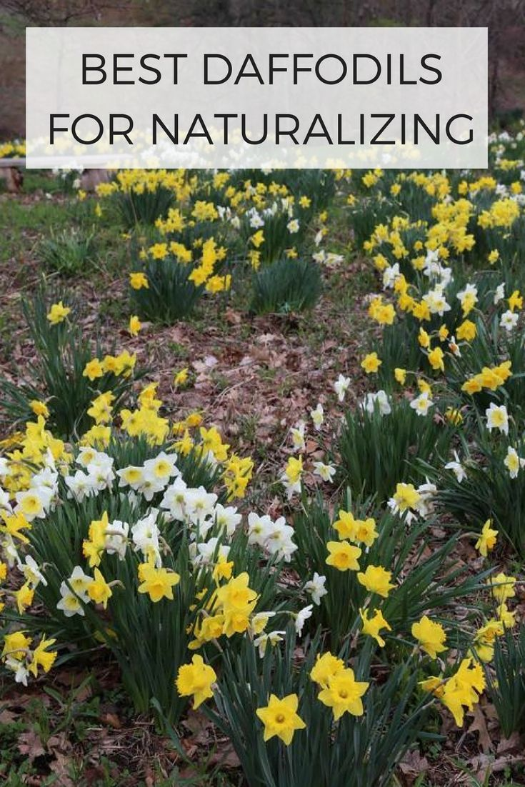 When how to plant daffodil bulbs - Nothing Shouts Spring Like A Daffodil These Easy To Grow Flower Bulbs Are