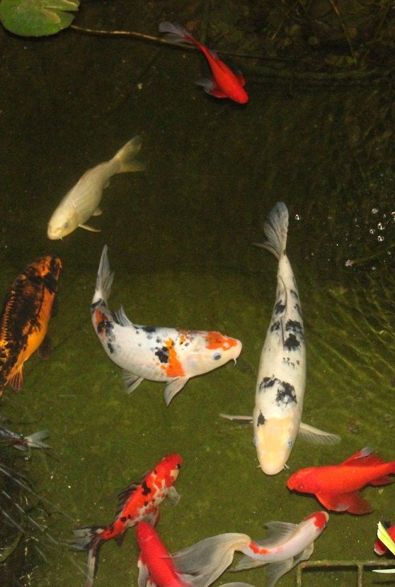 1000 images about koi fish on pinterest japanese koi for What fish can live with koi