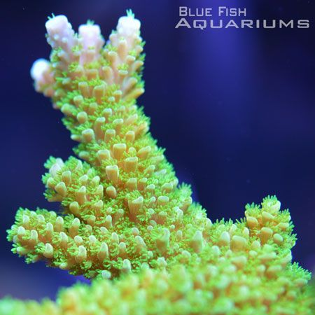 Green Slimer Acropora: Acropora sp. - Live Coral For Sale