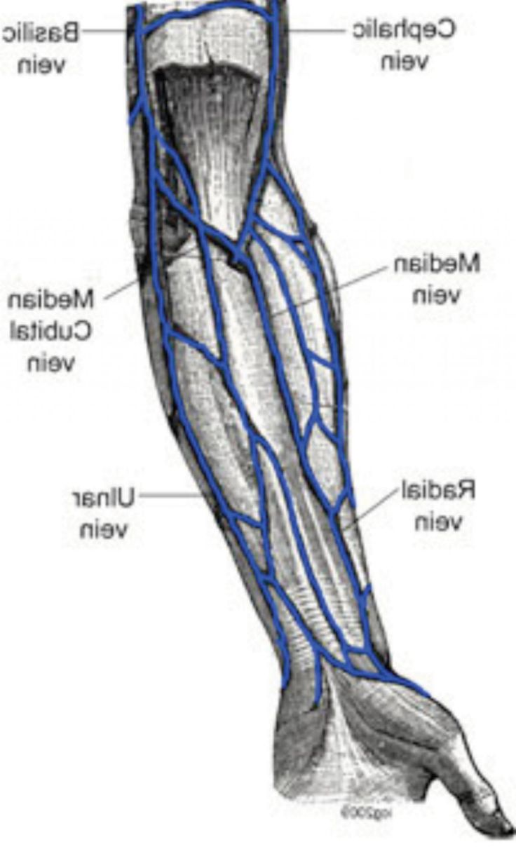 vein of the arm diagram [ 736 x 1211 Pixel ]