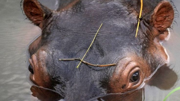 When world notorious narco Pablo Escobar was killed, the African animals in his private zoo was taken away by the police. Except the hippopotamuses! They escaped down the river and reproduced...