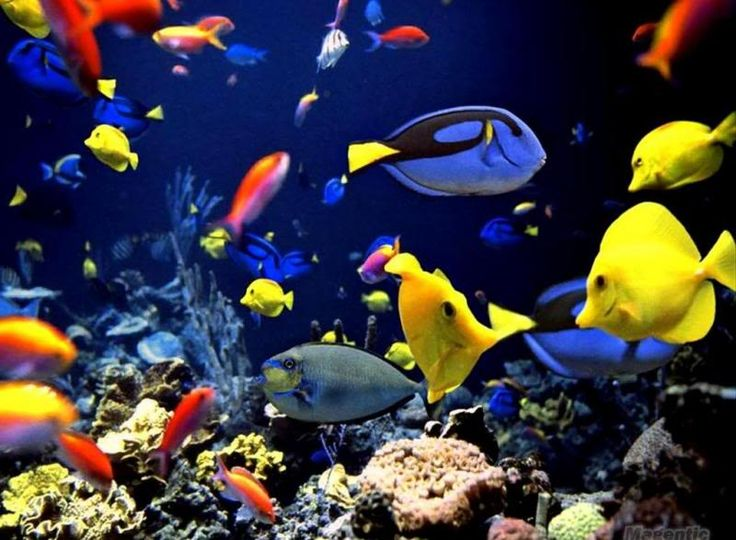 34 best underwater world images on pinterest tropical fish tropical fish seen in tropical waters and coral reefs are incredibly brilliant and assorted come investigate more excellent tropical fish pictures here publicscrutiny Images