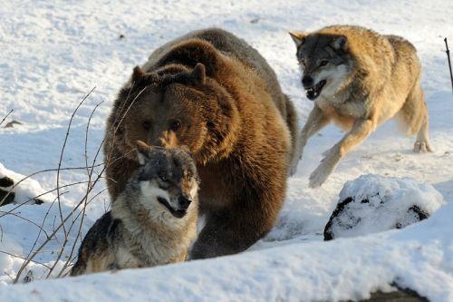 A szürkefarkas életmódja, leírása; a falka, vadászat; képek a farkasról