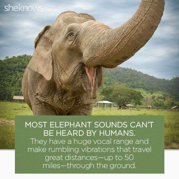 22 Elephant facts that prove they deserve better: Elephant voices