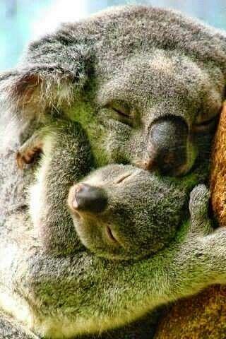 Koala mama picinyével