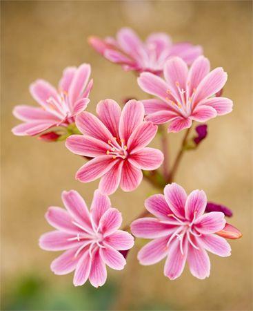 Pink Lewisia Flowers