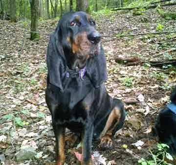 Tan And Black Hound Dog