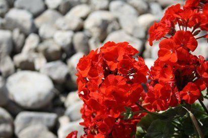 Geranio. Una de las plantas que más hogares decoran son los geranios. Sus cerca de 240 especies, diferenciadas por los colores de sus flores, por su tamaño y hasta por su olor, se convierten en una opción decorativa fácil de mantener.   Su nombre científico es 'Pelargonium', y es originaria de la región sudafricana de El Cabo.   El geranio tiene funciones medicinales en los campos digestivo, reproductor y antiséptico.